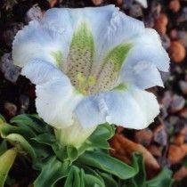 angustifolia Lichtblau
