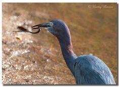 Little Blue Heron & Snake