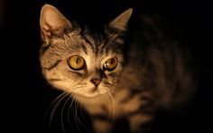 Cat In The Dark Background hd wallpaper by JennyMari Dark Background Wallpaper, Cute Cat Wallpaper, Dark Backgrounds, Cat Run, Bad Cats, Yellow Eyes, Cat Facts, Grey Cats, Diy Painting