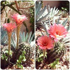Beautiful pink Paramount hybrid (Echinopsis)