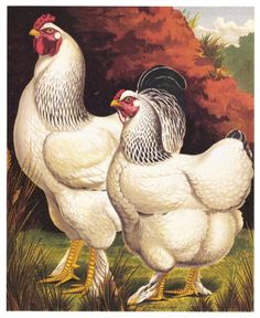 Cassell's Chickens Amer. Light Brahma by J.W. Ludlow