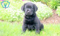 Lovebug | Labrador Retriever - Black Puppy For Sale | Keystone Puppies Black Puppy, Black Lab Puppies, Love Bugs, Puppies For Sale, Labrador Retriever, Dogs, Animals, Labrador Retrievers, Animales