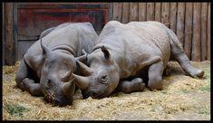 Rhino's by Hitomii on deviantART