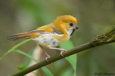 The Golden Parrotbill (Suthora verreauxi) is a species of parrotbill in the Sylviidae family. It is found in China, Laos, Myanmar, Taiwan, and Vietnam.