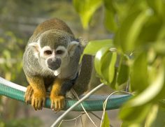 spider monkey | due to the extensive hunting of the spider monkey from both humans and ...