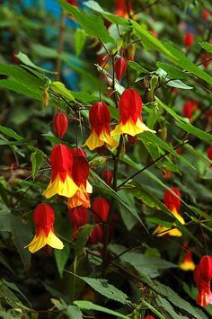 Dirt Therapy: JC Raulston Arboretum Abutilon megapotamicum - Plants For A Future… Eco Garden, Hillside Garden, Tropical Garden, Dream Garden, Shade Plants, Cool Plants, Trees And Shrubs, Trees To Plant, Flowers Nature