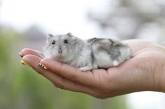 Robo Dwarf Hamsters, Cute Hamsters, Baby Hamster, Hamster Care, Little Babies, Fur Babies, Hamster Breeds, Syrian Hamster, Hamtaro