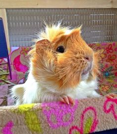 In case you are searching for a furry friend that is not only extremely cute, but easy to have, then look no further than a family pet bunny. Baby Guinea Pigs, Guinea Pig Care, Pet Pigs, Hamsters, Rodents, Guinea Pig Breeding, Baby Animals, Cute Animals, Small Animals