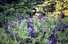 Baptisia australis   false indigo/RHS Gardening