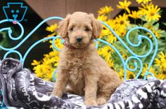 Lexi | Goldendoodle - Miniature Puppy For Sale | Keystone Puppies Goldendoodle Miniature, Miniature Puppies, Goldendoodle Puppy For Sale, Design Development, Puppies For Sale, Friends Forever, Miniatures, Animals, Animales