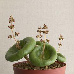 Crassula umbella 開花 : Bizarre Plants