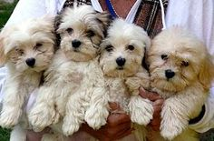Havanese puppies so cute... my family is longing for one of those :)