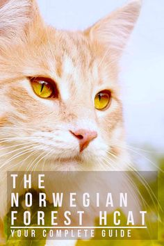 Norwegian Forest Cat - Your Complete Guide to Finding and Owning One Cat Site, Cat Toilet Training, Types Of Cats, Munchkin Cat, Siberian Cat, Norwegian Forest Cat, Cat Behavior, Maine Coon Cats, Cat Facts