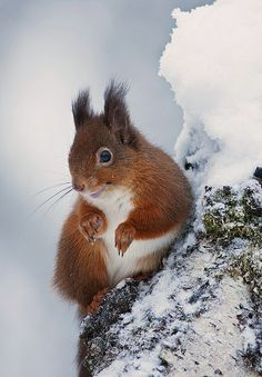 Red Squirrel - So Sweet
