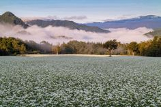White summer in the buckwheat field by shinichiro_busy 会津高原たかつえの蕎麦畑 2014:08:31 05:54:59 http://flic.kr/p/JbXNLv