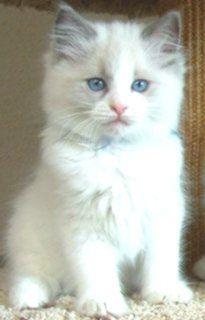 Floppy Kitty Oregon Ragdoll Cats Kittens For Sale Ragdoll Cat
