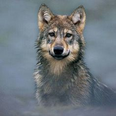 Wolves: Grey Wolf #GreyWolf #Wolf #Wolves