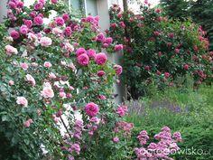 Kolorowy ogród na piasku - strona 522 - Forum ogrodnicze - Ogrodowisko Plants, Plant, Planets
