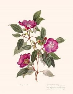 Tibouchina, quaresmeiras, jacatirões or manacás por Margaret Mee Vintage Botanical Prints, Botanical Drawings, Botanical Flowers, Botanical Art, Vegetable Illustration, Illustration Blume, Mushroom Art, Paint Photography, Fruit Art