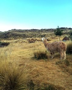 There's something with alpacas, that makes us want to photograph them each time we see one! #Peru #Puno #Sillustani #Alpaca #RTW #JulesVernex2 More on our stay in Peru in our travel blog julesvernex2.wordpress.com