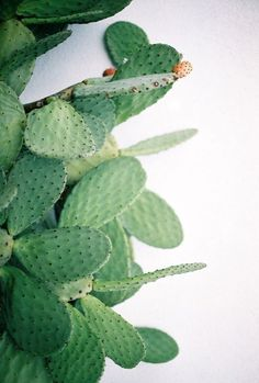 Prickly pears. @thecoveteur