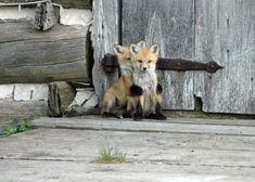 foxes - hiding