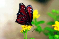 The white spots are amazing on this butterfly....The Queen