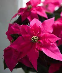 Kuvahaun tulos haulle joulun kukat