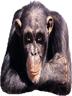 Chimp Ape Way to Go Yes Yeah Funny LOL Animal Animals Cute icon icons emoticon emoticons animated animation animations gif gifs photo thWINKgif. Funny Videos, Funny Video Clips, Funny Gifs, Animiertes Gif, Animated Gif, Moving Animated Pictures, Monkey Gif, Cartoon Monkey, Bisous Gif
