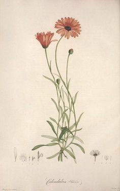 Calendula. Plate from Jardin de la Malmaison by E.P. Ventenat. Published 1803. Illustrationsby Redouté, Pierre Joseph, 1759-1840; Smith, John Donnell, 1829-1928 Biodiversity Heritage Libraryarchive.org