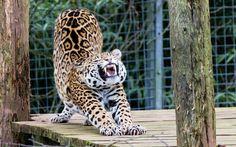 Jaguar Animal HD Wallpapers (9)