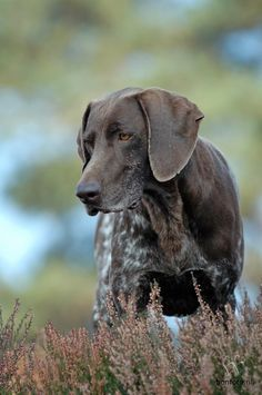 I love my german shorthaired pointer - Yahoo Image Search Results