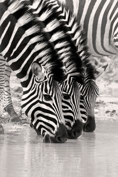 three zebras - Discover Sojasun Italian Facebook, Pinterest and Instagram Pages!