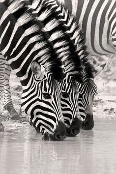 three zebras / Africa / Namibia