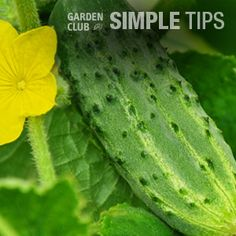 Cool As a Cuke and Easy to Grow. Plant Now, Crunch Later. | Garden Club