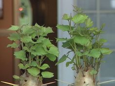 Starting and growing #sweet #potatoes - each potato can produce up to 50 growing slips! from DIY network - #garden #gardening #sweet #potato #growing #sprouting #propagation #vegetable - tå√