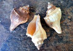 "12 Center Cut Spindle Shells 3-4/"" White Seashell Beach Art Crafts Nautical Decor"
