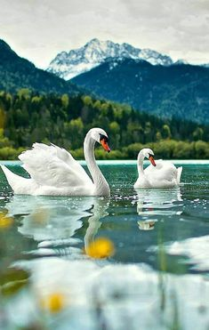 Animals in nature, beautiful photos Beautiful Swan, Beautiful Birds, Animals Beautiful, Swan Pictures, Animal Pictures, Beautiful Pictures, Exotic Birds, Colorful Birds, All Birds