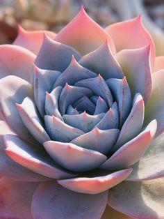 New post on bio-diversity Pink Succulent, Colorful Succulents, Cacti And Succulents, Planting Succulents, Cactus Plants, Planting Flowers, Echeveria, Cactus Leaves, Begonia Maculata