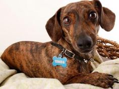 Rompin riley is an adoptable dachshund dog in forest ranch for Lafayette cds 30
