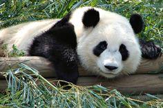 Shocking Incident Of Panda Mistreatment Caught On Film [