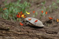 Earth song — nubbsgalore: photos by jeff cremer of orange julia and sulfur yellow butterflies drinking the salty tears of a tracajá turtle in the peruvian amazon. Sodium is a scarce resource in the western amazon where there is little mineral content to rain water so the butterflies have learned to get it where they can. Luckily for the butterflies the turtles don't mind much despite deriving no reciprocal benefit themselves.