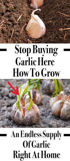 Skipo 100 unids//bolsa de semillas de ajo gigante jard/ín vegetal org/ánico planta Verduras