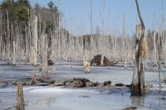 """Cedar swamp just west of The Woods at Long Pond. On the """"endangered list"""" looking to protect it..... Moose territory....must be saved."""