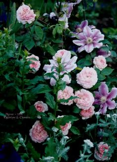Austin rose Eglantyne with Dr Ruppel clematis, achillea and adenophora in front.