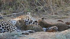 Adventures in South Africa: Leopard Cub Inspiration Leopard Cub, Pumas, Leopards, Dolphins, South Africa, Creatures, Adventure, Film, Artist