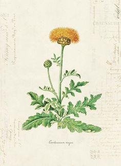 "Vintage Illustration Vintage Botanical Flower ""Centaurium Majus"" on French Ephemera Print - //////////simple Antique Illustration, Nature Illustration, Floral Illustrations, Botanical Illustration, Botanical Flowers, Botanical Prints, Vintage Images, Vintage Art, Nature Sketch"
