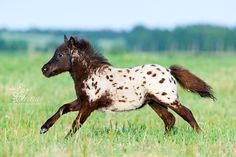 appaloosa miniature horse foal