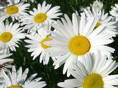 I had daisies in my wedding.