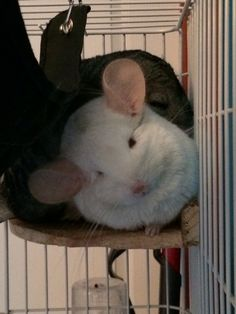Mithy and Comet the Chinchillas